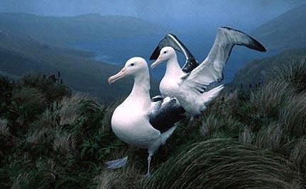 Lesbian Albatrosses Raising Chick Together