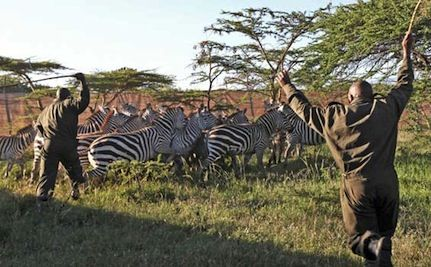 7,000 Zebras and Wildebeests Being Relocated for Lion Food
