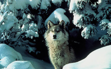 "Defenders of Wildlife Protects Wolves from ""Predator Derbies"""