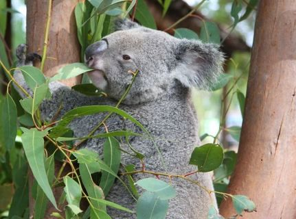 Koalas Threatened by AIDS, STDs and Urbanization