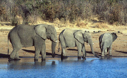 Stop the Slaughter of Elephants for Ivory