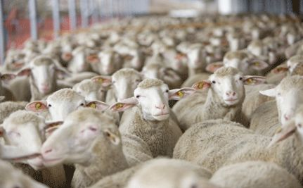 Think Wool is a Great Alternative to Fur? Think Again.