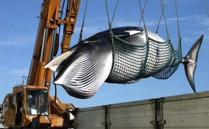 Secret Meeting Held to Legalize Japanese Whaling