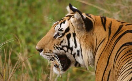 New Technology Protects Tigers In India