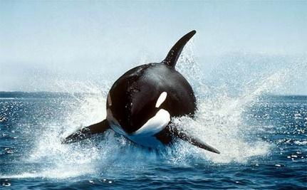 Revenge At SeaWorld: Orca Attack Shouldn�t Come As Any Surprise