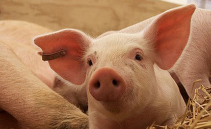 Victory for Downed Farm Animals in California