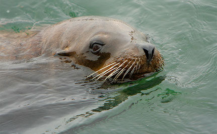 Sea Lions Executed for Eating Endangered Salmon in Oregon: Ask Gov. Kulongoski to End the Cull