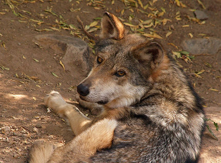 Urge Ken Salazar to Fast-Track Efforts to Save Mexican Lobos