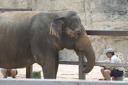 Queenie's Placement at San Antonio Zoo Enrages Groups That Worked to Free Her