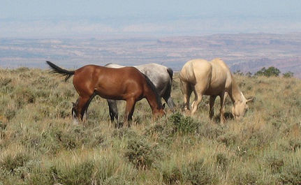 Wild Horse Death Toll Rises, BLM Plans More Roundups