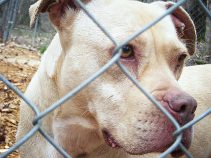 Study Shows Pit Bull Ban Does Not Stop Dog Bites
