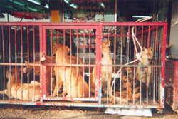 Heroic Rescue At Korean Dog Meat Farm