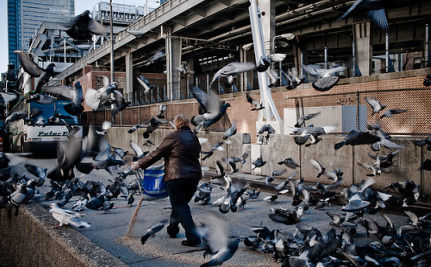 Pigeons On The Pill? HSUS Explores New Ways To Reduce Bird Populations
