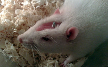 Would you donate fat cells to prevent animal research?