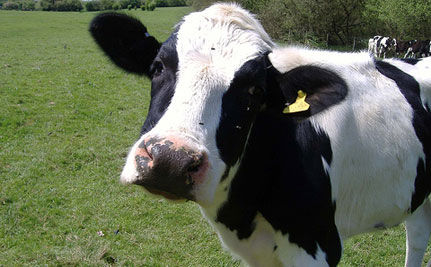 From Abuse At Dairy Farm To Reward For Healthy Cows–UPDATE