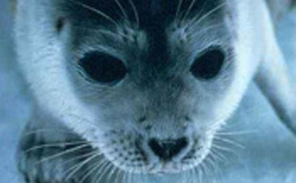 Arctic Animal Catastrophe: What if Shell's Arctic Oil Drilling is Approved Friday?