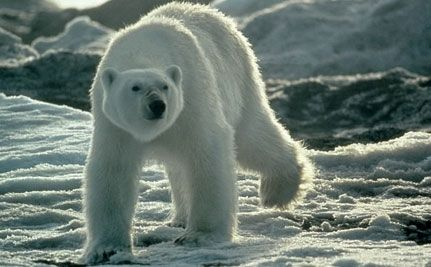 Polar Bears Win! No Arctic Oil Drilling for Now