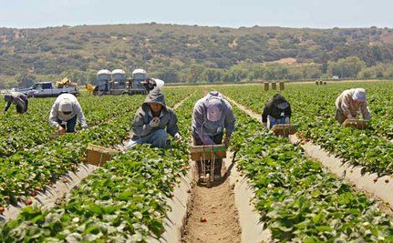 Strawberry Fields Forever-Poisoned? Pesticide Threatens Workers' and Residents' Health