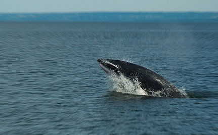 Obama to Lift Whaling Ban?
