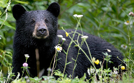 NJ Governor Favors Black Bear Hunt