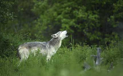 Local Officials Threaten Wolf Mountain Sanctuary