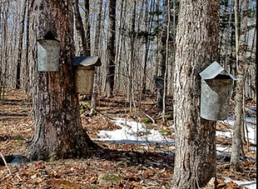 Maple Syrup: Climate Change Takes another Victim