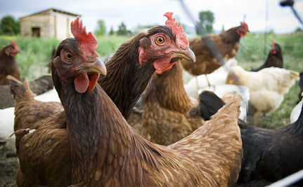 "HSUS Files Complaint Against ""Humane"" Egg Farms"
