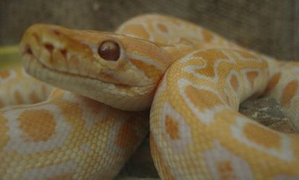 Toddler Killed by Pet Python: Parents Charged