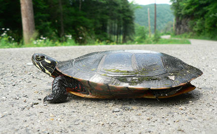 Helping Turtles Cross the Road: A Success Story