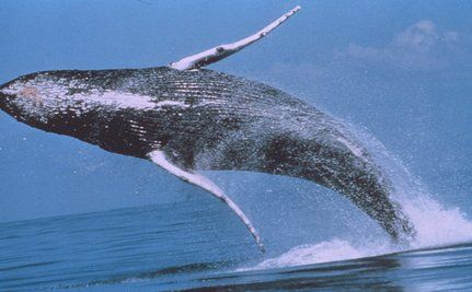 Global Whale Study Shows Startling Toxin Levels�Are People Next?