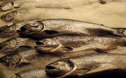 Genetically Modified Salmon: Will It Be On Your Dinner Table?