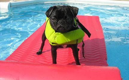 Cute Video Alert: Pug Goes for a Swim!