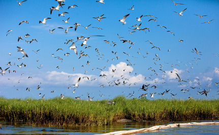 Millions Of Migrating Birds Headed Toward Gulf Oil Spill Mess