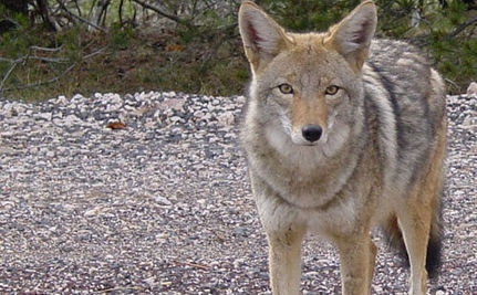 Coyote Attacks Result in Police Shooting Animals on Sight