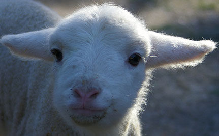 Tell Australia's New Prime Minister to End Sheep Abuse
