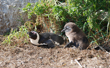 African Penguins Newest To Hit Endangered Species List