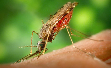 Scientists Engineer Malaria-Proof Mosquitoes