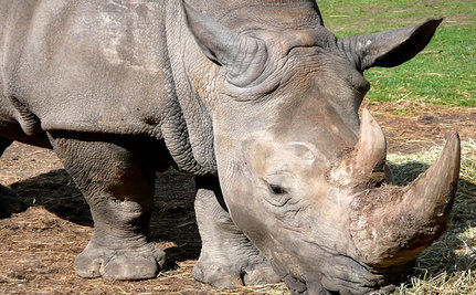 Poachers Slaughter Last Female Rhino in South Africa Reserve
