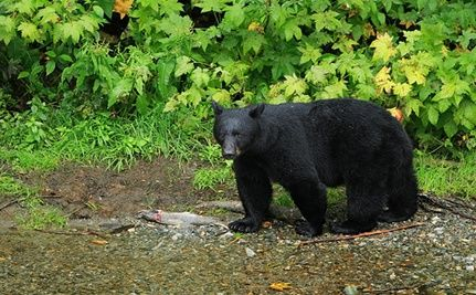 NJ Black Bear Hunt to Go on as Scheduled
