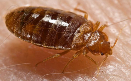 They Want to Suck Your Blood: Not Vampires, but Bed Bugs