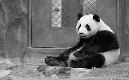 Giant Panda Accidently Gassed To Death
