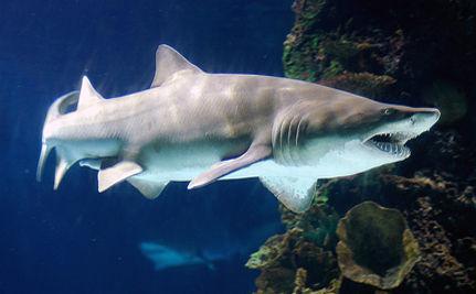 Shark Extinction In Our Lifetime? (VIDEO)