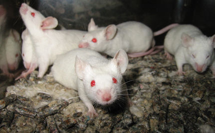 Canadian University Criticized for Pain Study on Mice
