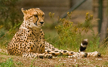 India to Reestablish Cheetah Habitats