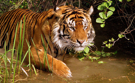 Chinese Tiger Farms Threaten Endangered Species (VIDEO)