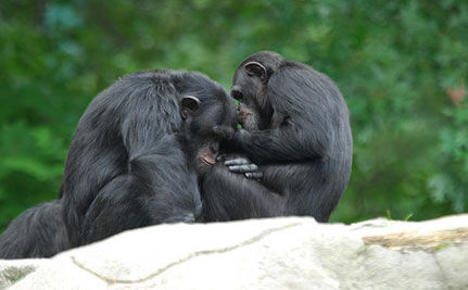Brazil Sanctuary Rescues Chimps (VIDEO)