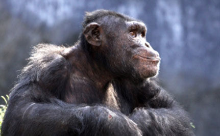 Great Ape Protection Act Moves to Senate