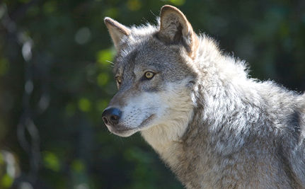 Federal Judge Reinstates Gray Wolf as Endangered in Idaho
