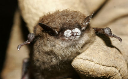 Deadly Disease Could Make Brown Bats Extinct In Less Than 20 Years