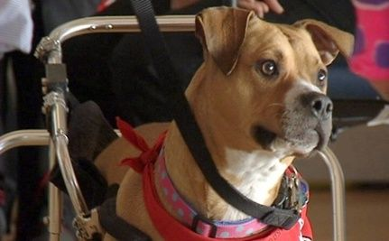 Paralyzed Pit Bull Mix Inspires Others